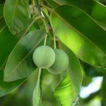 Calophylle ou tamanu huile