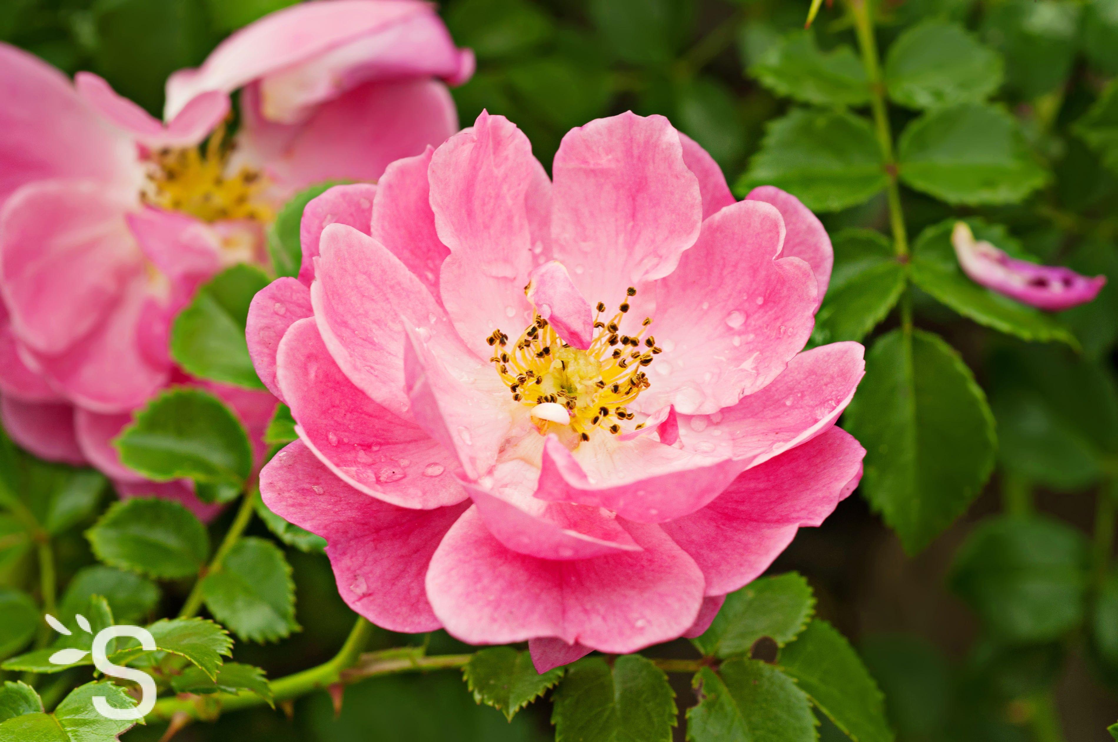 Rose Musquee Du Chili Huile Plantes Et Actifs Naturels