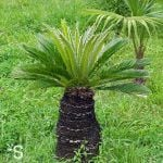 Sabal saw palmetto