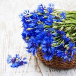 Fleur de Bach Centaury - centaurée 4
