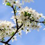 Fleur de Bach Cherry plum - prunus 6