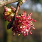 Fleur de Bach Elm - orme 11