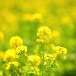 Fleur de Bach Gentian - gentiane 12