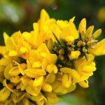 Fleur de Bach Gorse - ajonc 13