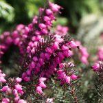 Fleur de Bach Heather - bruyère 14