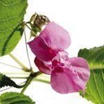 Fleur de Bach Impatiens - impatience 18