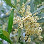 Fleur de Bach Olive -  olivier 23