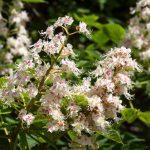 Fleur de Bach Sweet chestnut - chataignier 30