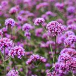 Fleur de Bach Vervain - verveine 31