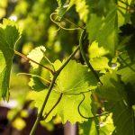 Fleur de Bach Vine - vigne 32