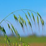 Fleur de Bach Wild oat - folle avoine 36