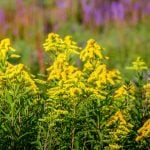 Verge d'or ou solidago