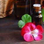 Geranium rosat variete bourbon