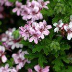 Huile essentielle - Geranium rosat de chine